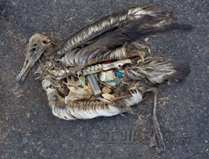 dead-bird-with-waste-plastic-in-the-stomach